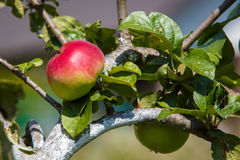 Red and green apple on the tree Stock Photos