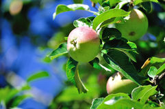 Red and green apples on apple tree branch Royalty Free Stock Photography