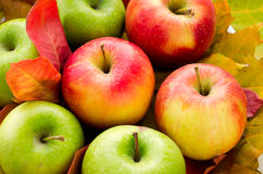Red and green apples with autumn maple leaves Stock Images