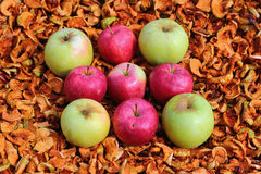 Red and green apples on background of dried apples. Stock Image