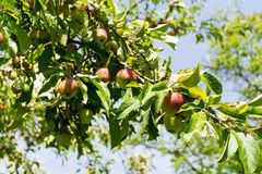 Red and green apples on a branch of apple tree on a sunny day. Organic farming/agriculture Royalty Free Stock Image