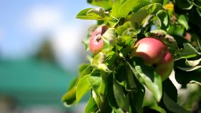 Red and green apples on a tree in a gentle breeze. stock footage