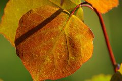 Red and green Aspen leaves Stock Images