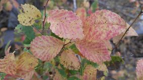 Red and green autumn leaves of a small bush background. Green, yellow, red, burgundy, golden, leaf fall, soon winter, cold autumn, beautiful pattern, colorful stock photo
