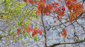 Red and green autumn leaves on trees. Autumn leaves on bare branches of trees stock video
