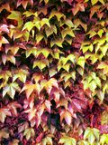 Red green autumnal leafs Stock Image