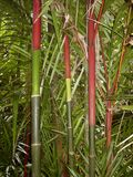 Red and green bamboo in the Botanical Garden, Big Island Hawaii stock image