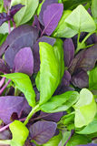 Red and green basil. Food background: red and green basil leaves Royalty Free Stock Photos