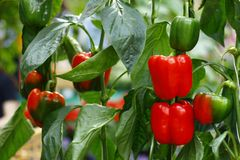 Red and green bell pepper on the tree royalty free stock photography