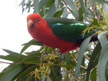 Red and green King Parrot bird in a tree. Red and green King Parrot perches in a tree in Victoria, Australia Stock Image