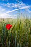 Red, Green and Blue. Red poppy in a wheat field Stock Images
