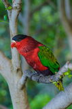 Red green bright parrot in Puerto de la Cruz. Santa Cruz de Tenerife,Tenerife, Canarian Islands Royalty Free Stock Photo