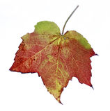 Red green brown autumn leaf in studio Stock Image