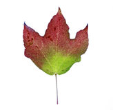 Red green brown fall leaf in studio environment Royalty Free Stock Photo