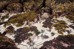 Red, green and brown seaweeds in Galicia. Royalty Free Stock Photography