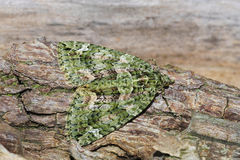 Red-green Carpet Moth Stock Photo