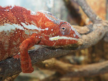 Red green chameleon on a tree branch Stock Image