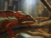 Red green chameleon on a tree branch Stock Photography