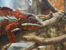 Red green chameleon on a tree branch Royalty Free Stock Image