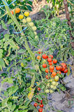 Red and green cherry tomatoes, bunch, vine  close up, countryside Stock Photography