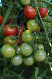 Red and green cherry tomatoes on a tree Royalty Free Stock Images