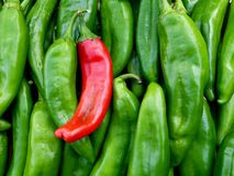 Red and Green Chile from New Mexico. Green and red Big Jim chile from New Mexico. The state question - red, green or Christmas? Christmas meaning you would like stock image