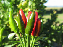Red and green chili peppers hanging on the plant . Tuscany, Italy Royalty Free Stock Image