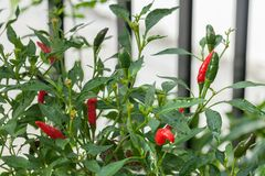 Red and green chili peppers. On the tree Stock Photography