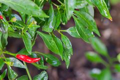 Red and green chili peppers. On the tree Royalty Free Stock Photos