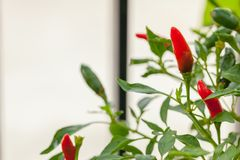 Red and green chili peppers. On the tree Stock Photo