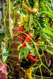 Red and Green Chili Peppers on Vine Stock Image