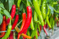Red and green chilies on tree. Red and green chilies growing in the vegetable  garden Stock Photo