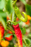 Red and green chilli peppers growing in the garden Royalty Free Stock Photography