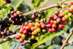 red and green coffee bean Stock Images