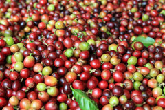 The red and green coffee berries closeup for background. Stock Photography