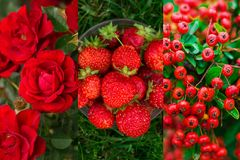 Red and green color combination nature collage. Rose bush and berries Stock Image