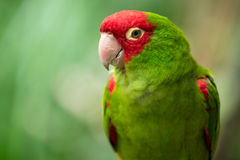 Red and green conure parrot Royalty Free Stock Photo
