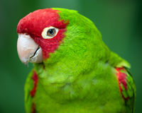 Red and green conure parrot Stock Photo