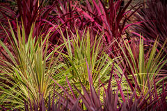 Red green cordyline grass plants Stock Image