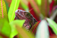 Red and Green Costa Rica Iguana. Walking down the main street to Manuel Antonio beaches in Costa Rica, this beautiful red and green lizard/iguana was spotted royalty free stock photography