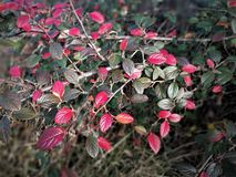 Red and green cotoneaster leaves in winter. Red and green leaves providing a splash of winter colour on a cotoneaster bush stock images