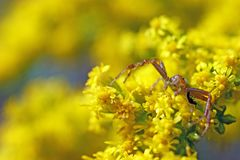 Red and green Crab spider on yellow flowers royalty free stock photography