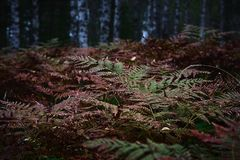 Red green fern plants in autumn in wild forest in dark contrast Royalty Free Stock Images
