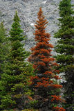 Red and green fir trees Royalty Free Stock Image