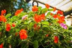 Red and green flower hanging isolated with vibrant color and blur background stock image