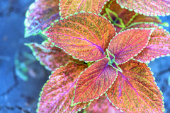 Red and green flower leaves. With purple lines, top view, close up Stock Photos
