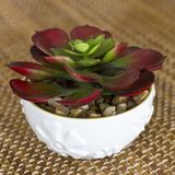 Red-green flower succulent in a white ceramic pot. Red-green flower succulent in the white ceramic pot Stock Image