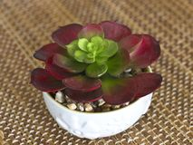 Red-green flower succulent in a white ceramic pot. Red-green flower succulent in the white ceramic pot Stock Photos