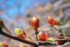 Red and green fresh buds on branch Stock Images