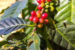 Red and Green fresh  coffee. Fresh coffee aroma for araica Royalty Free Stock Image